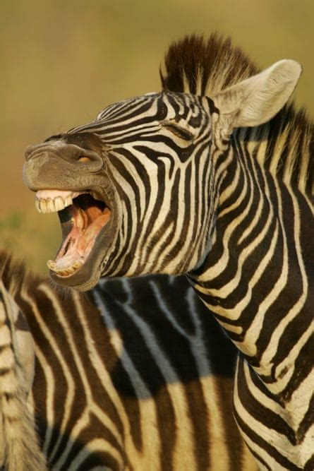 stripes zebra zebras alamy photograph each use function
