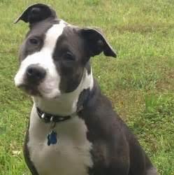 Black and White Blue Nose Pitbull