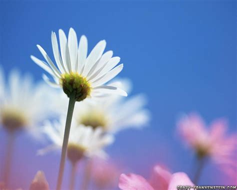 Daisy Family  Flower Wallpapers Page 3  Crazy Frankenstein