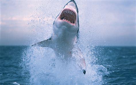 Fondos de pantalla Tiburones saltando fuera del agua