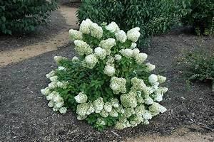 Hydrangea Paniculata Bobo : bobo hydrangea hydrangea paniculata 39 ilvobo 39 in ~ Michelbontemps.com Haus und Dekorationen