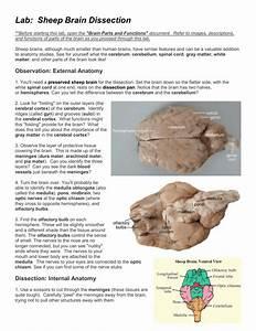 30 Sheep Brain Dissection Worksheet