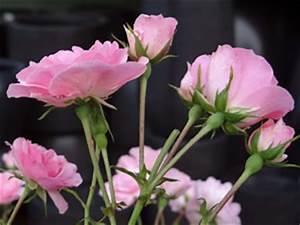 Rosen Düngen Im Frühjahr : rosen d ngen tipps f r rosend nger ~ Orissabook.com Haus und Dekorationen