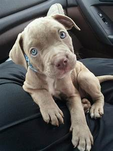 pitbull terriers | Tumblr