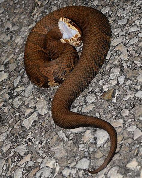Agkistrodon Piscivorus Is A Venomous Snake, A Species Of