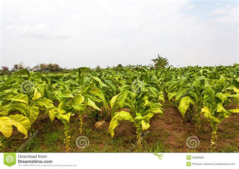 Llight Farms Ls Made In Thailand by Tobacco Farm In Thailand Stock Photo Image 50920828