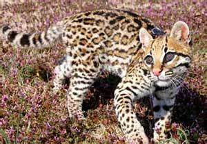 Ocelot Hybrid Domestic Cat HD Wallpaper, Background Images