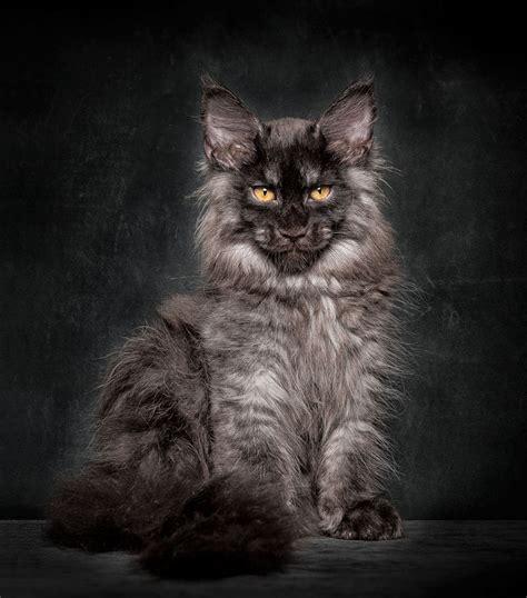 Robert Sijka's Photographs Of Maine Coon Cats  Janet Carr