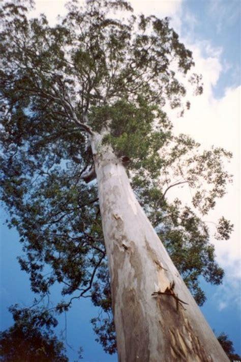 eucalyptus australia mountains park tallest national tree trees gum mountain grey giant largest australian file eucalypts woodford wikipedia species south