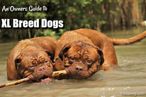 extra large breed dogs  owners guide   big uns