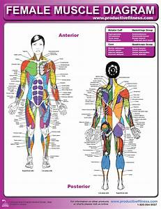 Musculature Chart   Bodybuilding