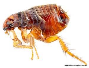 cat flea fleas pest sydney