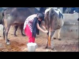 Cow Milking By Hand :: VideoLike