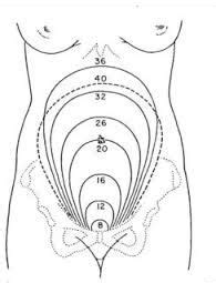 Uterus size by week diagram: anyone have it? | Pregnancy