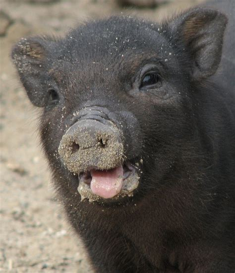 seid gegruesst vom suessen schwein hannover zoo myheimatde