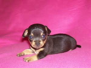 Toy Chihuahua Puppies