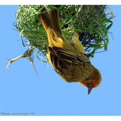 Cape Weaver Building a NestBirds and BirdingSeamus