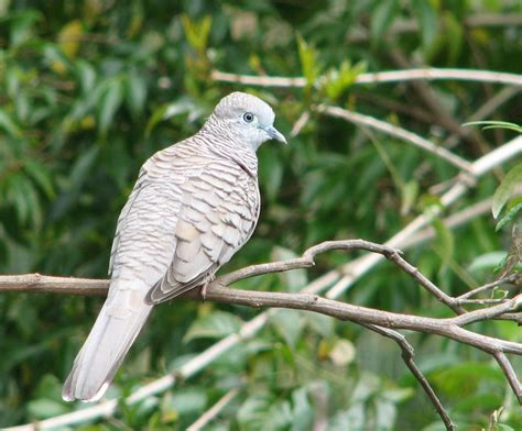 how to attract doves to a garden