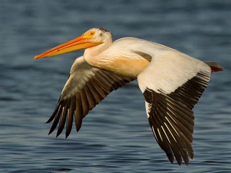 American White Pelican (pelecanus Erythrorhynchos) Videos