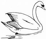 Swan Coloring Pages Printable Outline Colouring Drawing Realistic Drawings Animals Lake Silhouette Mute Wildlife Swans Whooper Colorful Sheets Template Animal sketch template