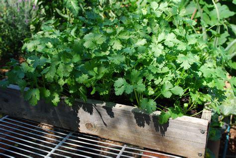 Growing Cilantro, How To Grow Cilantro, Planting Cilantro