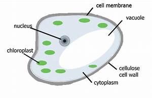 Plants Cells