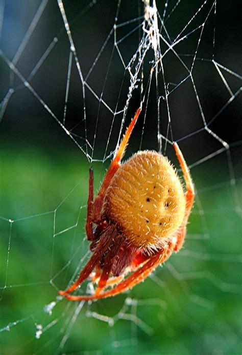 large red legged florida spider weaving  web flickr