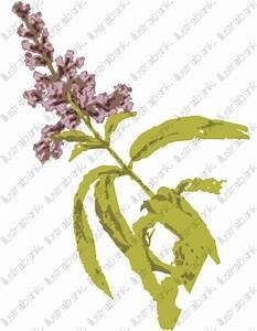 Verveine Plante Tisane : verveine illustration libre de droit sur ~ Mglfilm.com Idées de Décoration