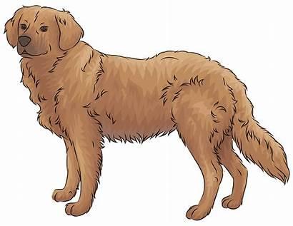 Retriever Golden Clipart Dog Retriver Transparent Clipground