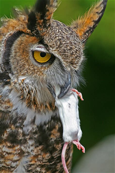 what do owls eat what do great horned owls eat learning about life cycles birds pinterest great horned