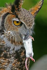 Great Horned Owl Eating | Flickr - Photo Sharing!