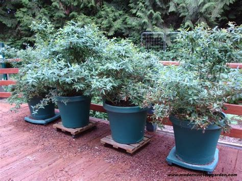 blueberry bush in pot how to grow blueberries in pots and containers the garden of eaden