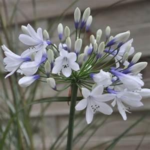 Graines D Agapanthe : agapanthe 39 twister 39 plantes et jardins ~ Melissatoandfro.com Idées de Décoration