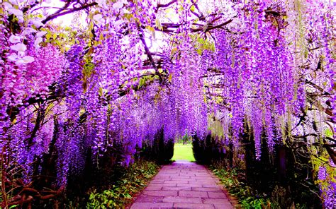 hanging flower wisteria purple flowers wallpaper  pc