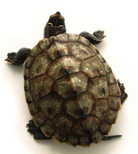 turtle shell turtle shell google search prints patterns pinterest