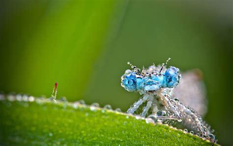 terralonginqua mon copain lagrion insect macro