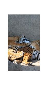 150 Pictures of Tigers - Sleeping, Swimming, with Cubs ...