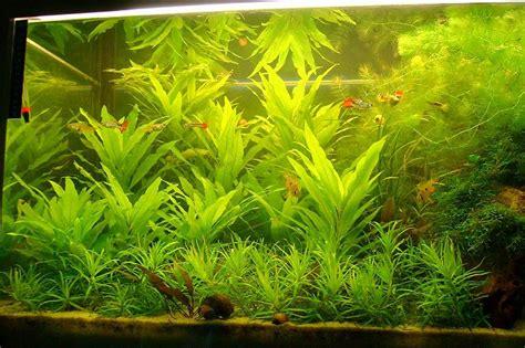 aquarium pflanzen düngen pflanzen wuchs ohne co2 anlage aquarium forum