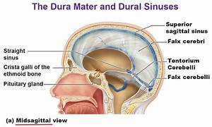 Protection For The Brain  Meninges  Csf  Blood