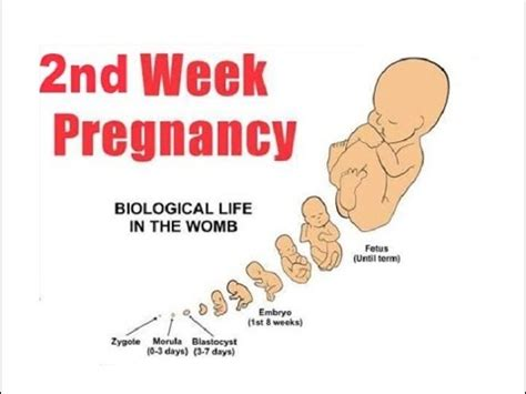 weeks pregnant symptoms  signs youtube
