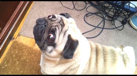 angry pug youtube