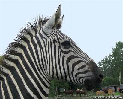 Zebra Wallpapers Animal Pack Animals Crazy Zebras