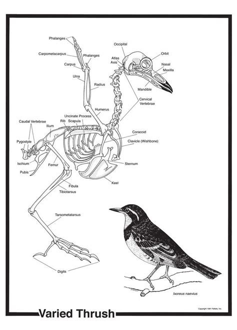 Bird Skeleton Poster Skeletons Pinterest Birds
