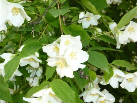 arbusti dai fiori rosei piante fiorite giardinaggio piante e arbusti fiori