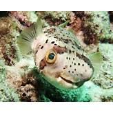 Puffer Fish - True Wildlife Creatures