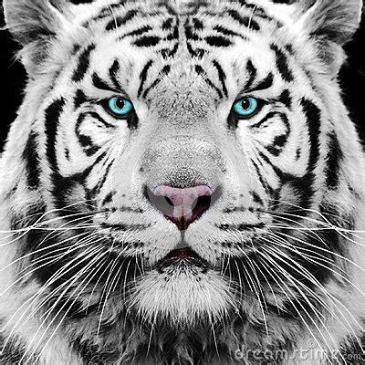 white tiger royalty  stock photo image