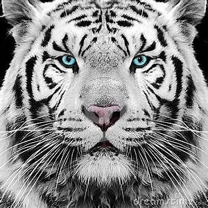 white-tiger-siberian-face-eyes-32012325.jpg | aminals,fish ...