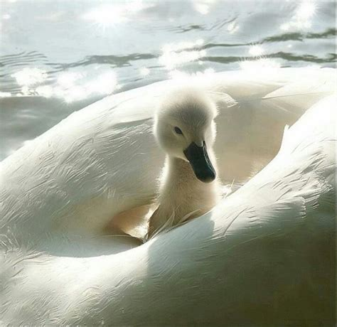 17 Best Images About Baby Ducks & Baby Swans Are On