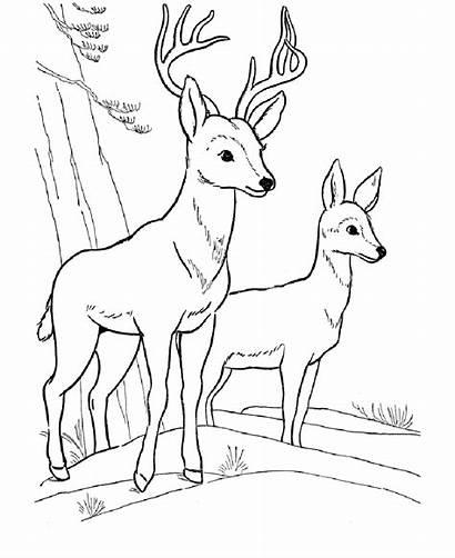 Deer Fawn Coloring Printable Coloringsun Sheet Feel