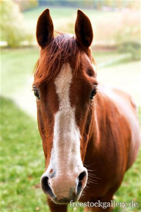 rotbraunes pferd